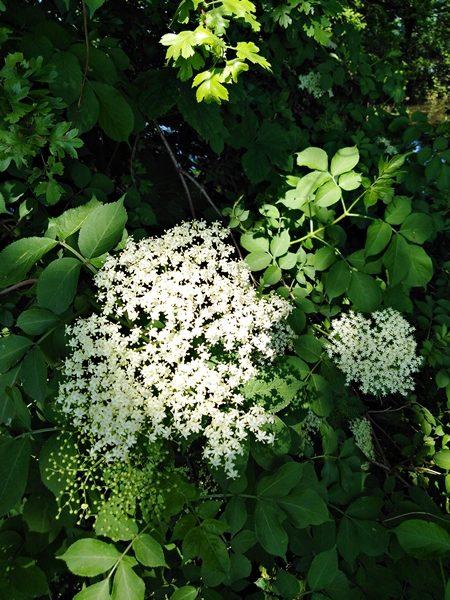 Jak Zbierac I Suszyc Kwiaty Czarnego Bzu Napiecyku